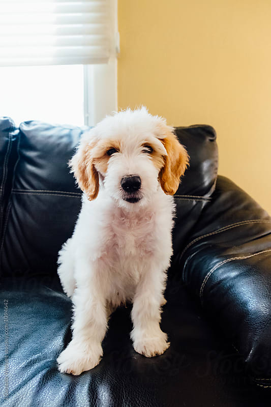 White and Brown Golden Doodle Puppy sitting on couch by J Danielle Wehunt for Stocksy United