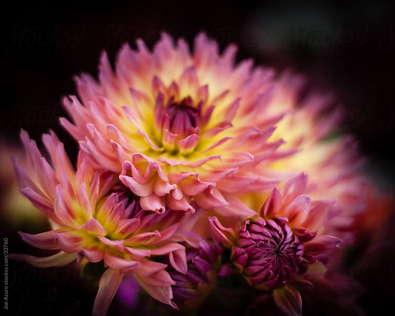 Dahlias on a Dark Backgorund by Joe Azure for Stocksy United