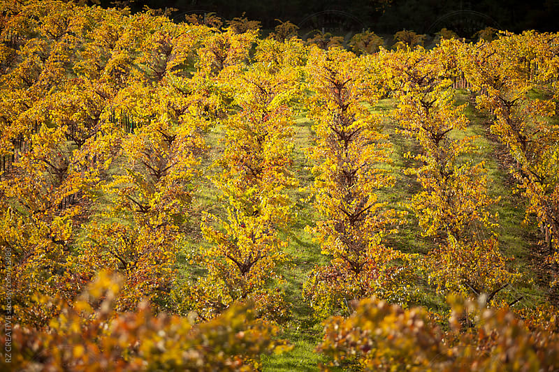 A colorful wine field in Napa Valley, California, USA. by RZ CREATIVE for Stocksy United