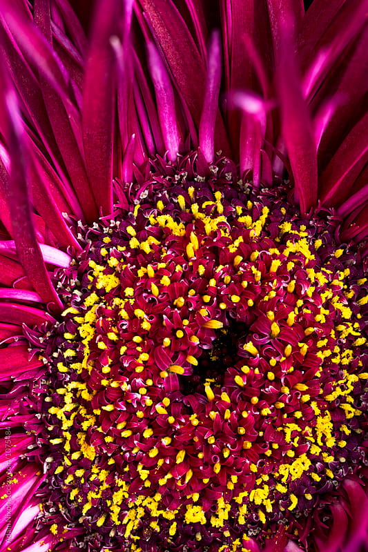 Purple spring spider gerbera daisy, macro abstract by Adam Nixon for Stocksy United