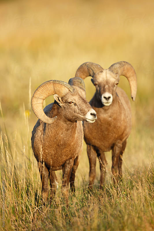 Two Bighorn Sheep by Paul Tessier for Stocksy United