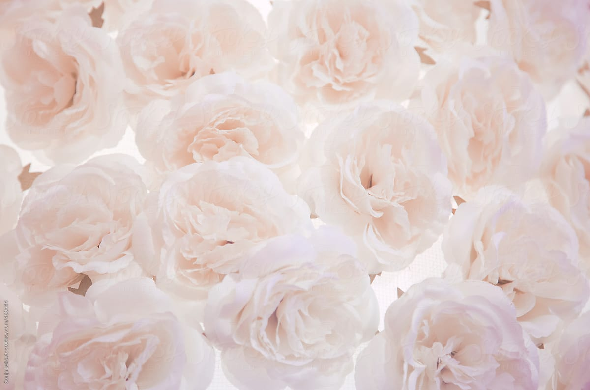 Pale Pink White Roses Background Stocksy United