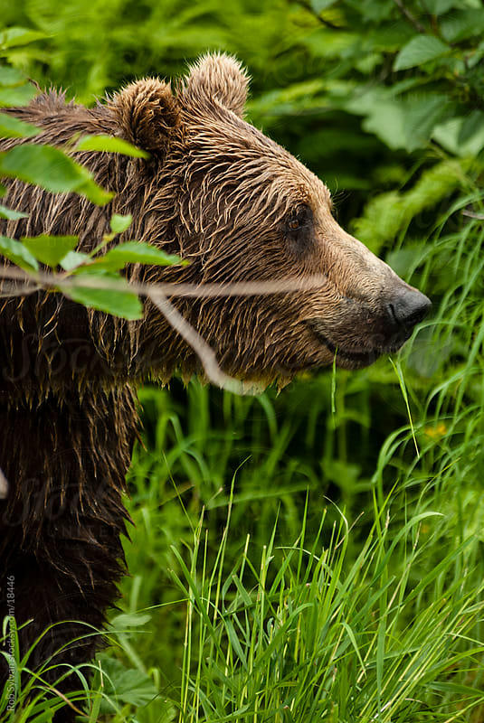 Brown Bear by Rob Sylvan for Stocksy United