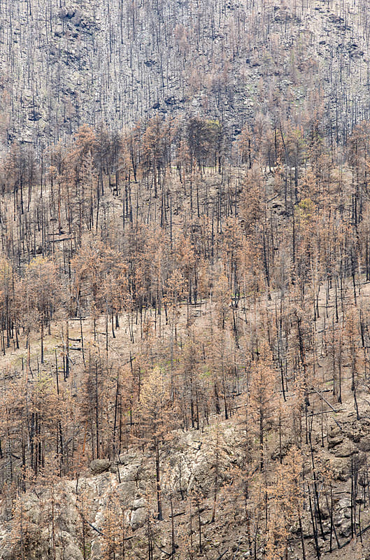 Forest Fire Damage by Julie Rideout for Stocksy United