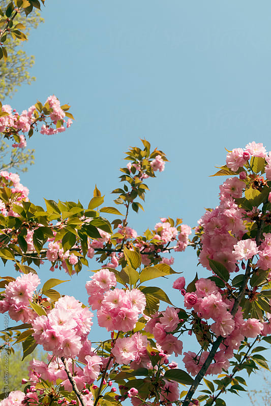 pink cherry tree flowers blossom and blue sky copyspace by Sonja Lekovic for Stocksy United