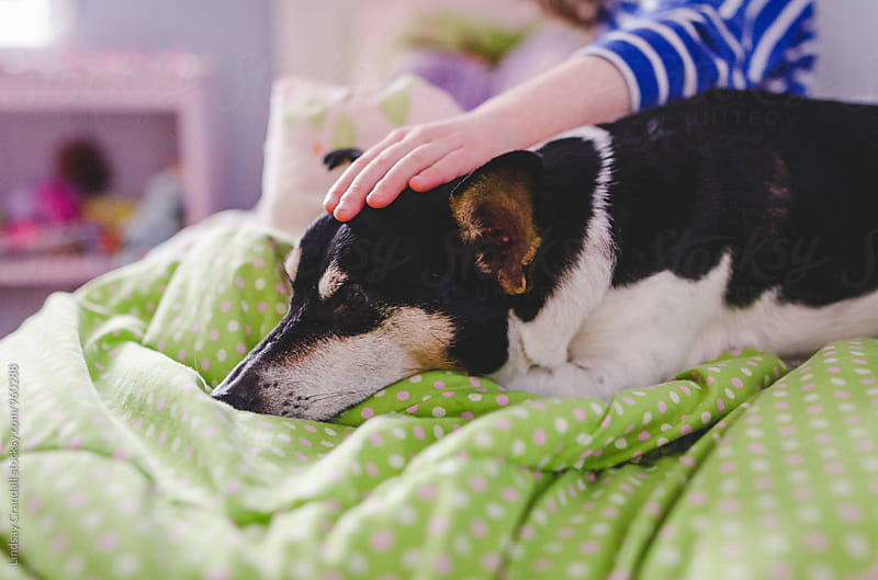 Hand of a child petting a dog on a bed by Lindsay Crandall for Stocksy United