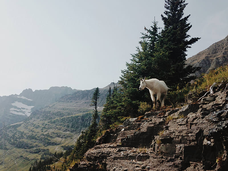 Mountain Goat on Rocks by Kevin Gilgan for Stocksy United