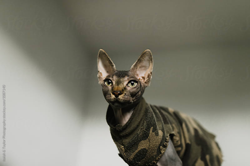 Funny Sphinx Cat wearing sweater by Isaiah & Taylor Photography for Stocksy United