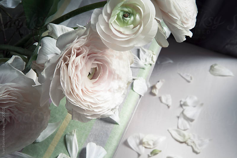Withering white roses and petals by Ivan Bastien for Stocksy United