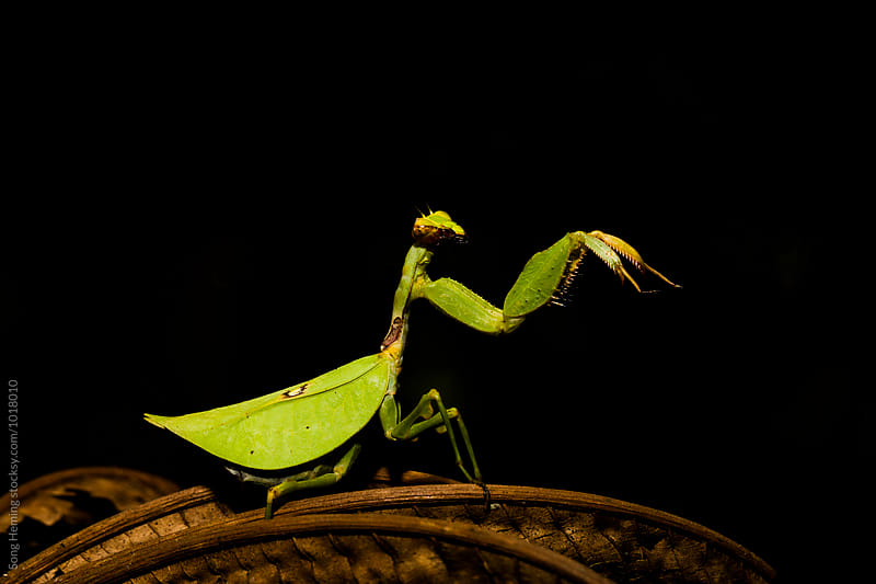 Green mantis on the dead leaf by Song Heming for Stocksy United
