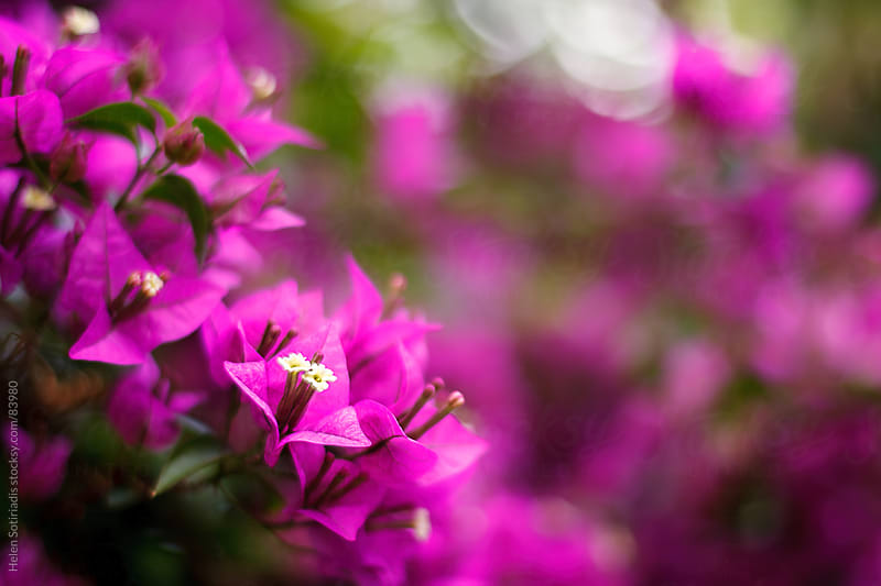 Bougainvillea by Helen Sotiriadis for Stocksy United