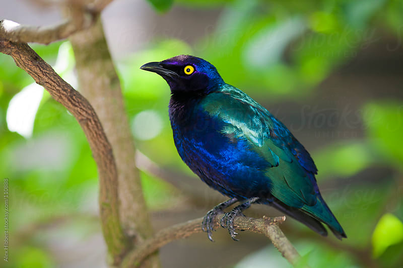 Cape glossy starling by Alex Hibbert for Stocksy United
