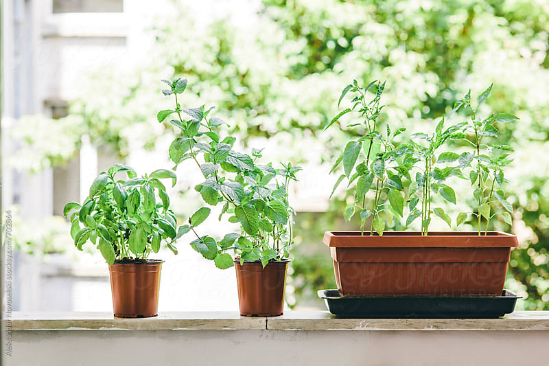 Growing peppermint, basil and chili peppers on the balcony by Aleksandar Novoselski for Stocksy United