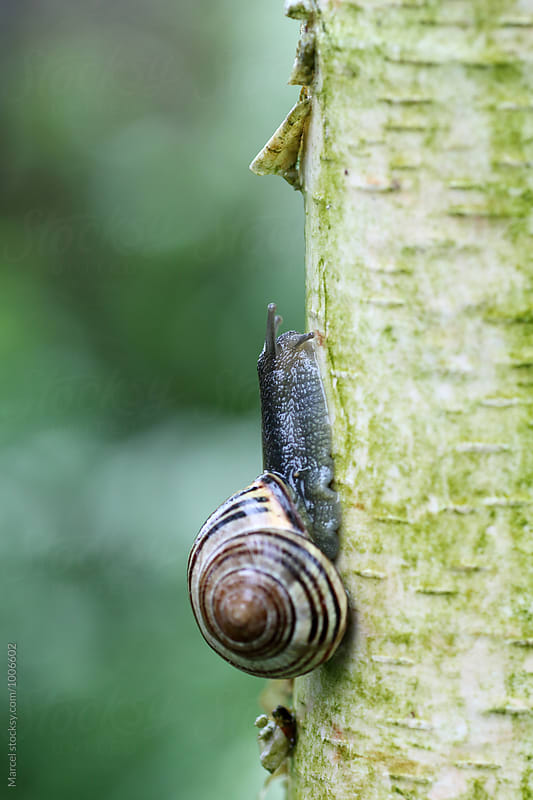 Snail on birch by Marcel for Stocksy United