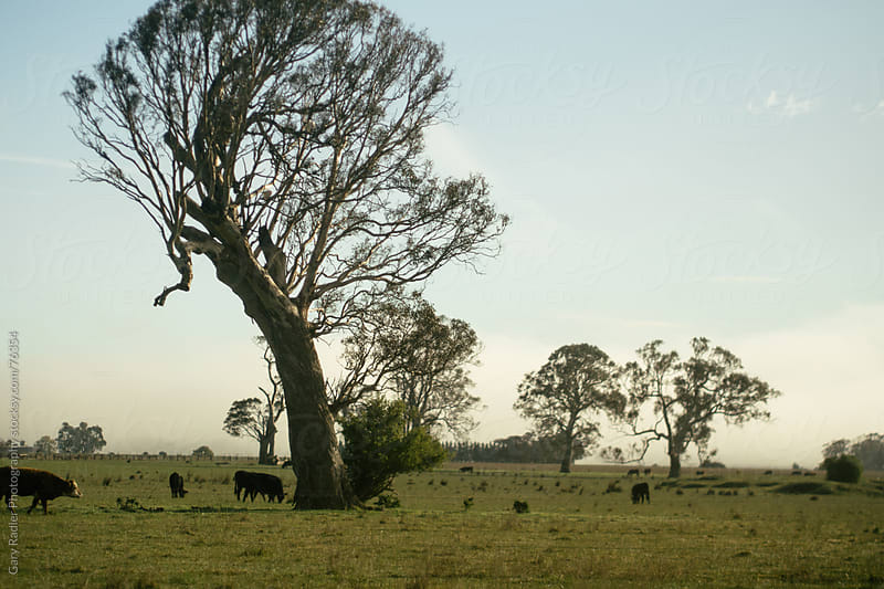 Cattle Grazing on an Australian Farm near Large Eucalyptus Tree by Gary Radler Photography for Stocksy United