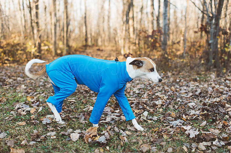 Dog in a onesie outdoors by Preappy for Stocksy United