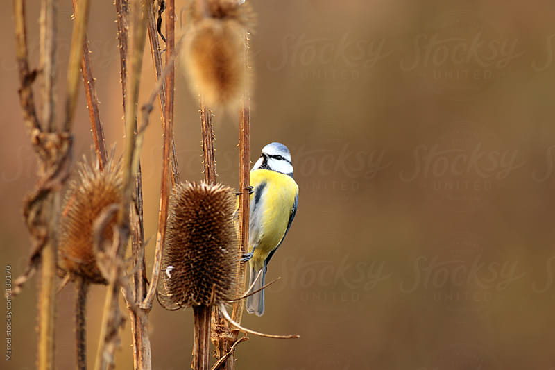 Blue tit on wild teasel plant by Marcel for Stocksy United