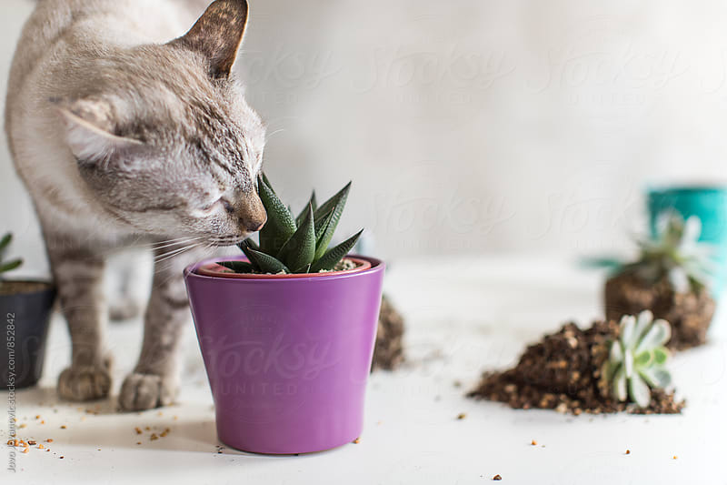A domestic cat sniffing a succulent plant in a purple pot  by Jovo Jovanovic for Stocksy United