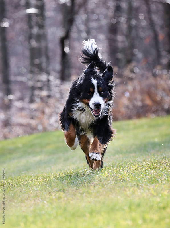 Excited dog running toward owner by Matthew Spaulding for Stocksy United