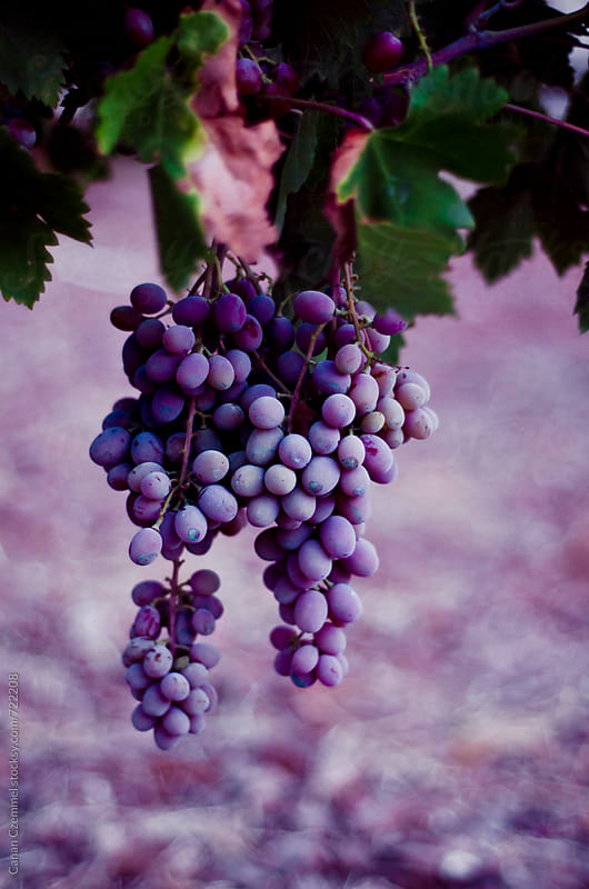 grapes by Canan Czemmel for Stocksy United