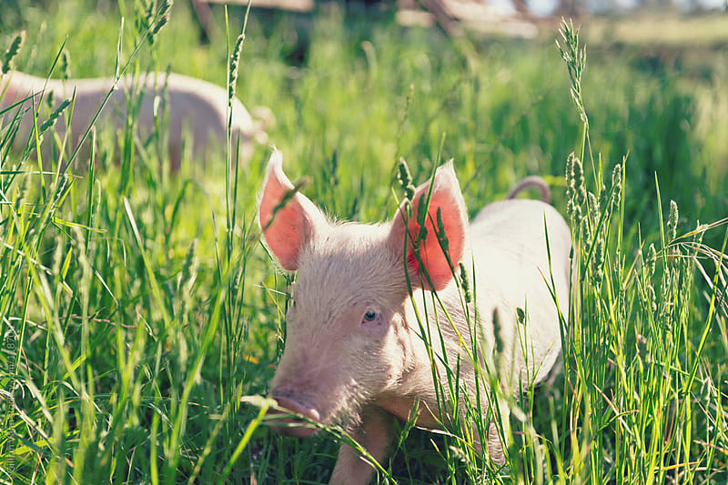 piglet in the grass by Gillian Vann for Stocksy United