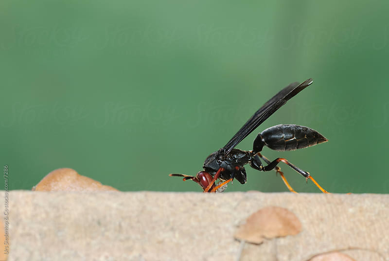 Jungle Wasp by Urs Siedentop & Co for Stocksy United