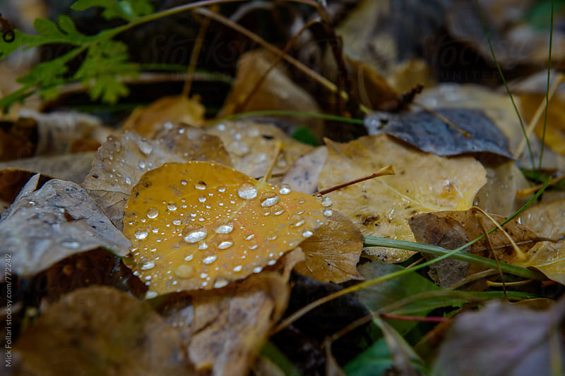 Water droplets on autumn Aspen leaf by Mick Follari for Stocksy United