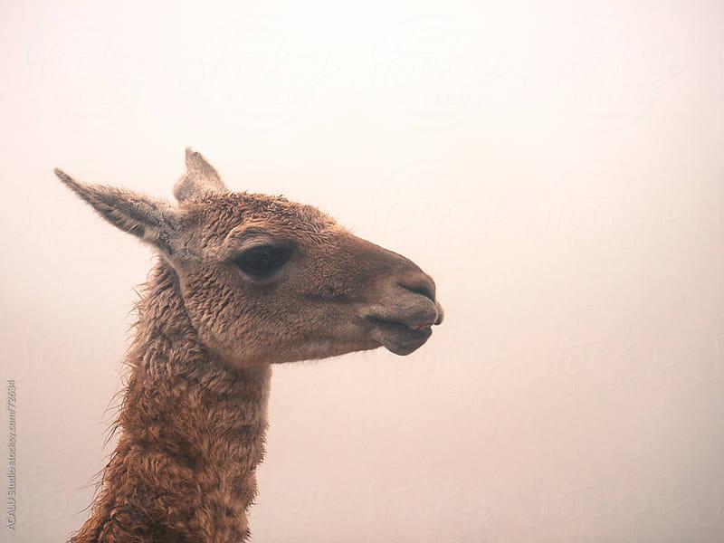 Lama glama by ACALU Studio for Stocksy United