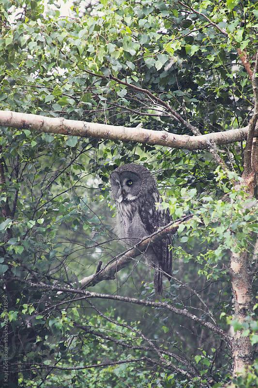 Owl sitting in a tree by Kaat Zoetekouw for Stocksy United