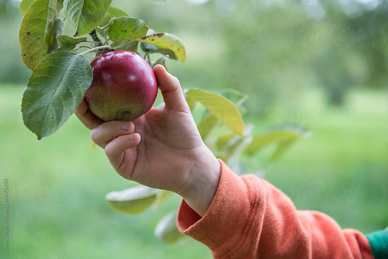 Hand of a child reaches out to pick an apple from a tree in an orchard by Cara Dolan for Stocksy United