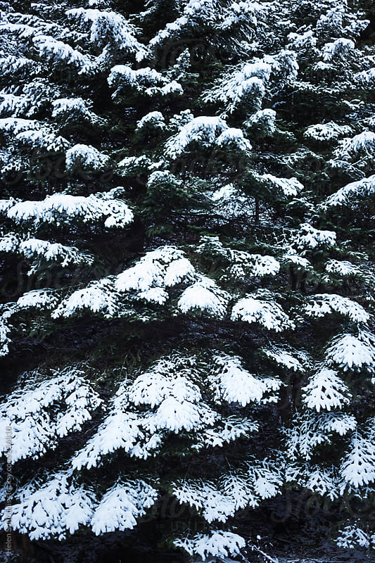 Coniferous Trees with Snow on Branches by Helen Sotiriadis for Stocksy United