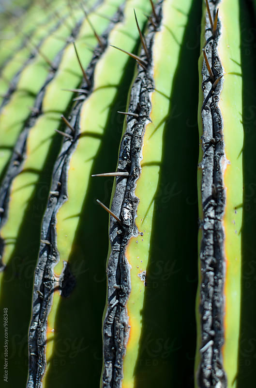 Closeup of cactus spikes by Alice Nerr for Stocksy United