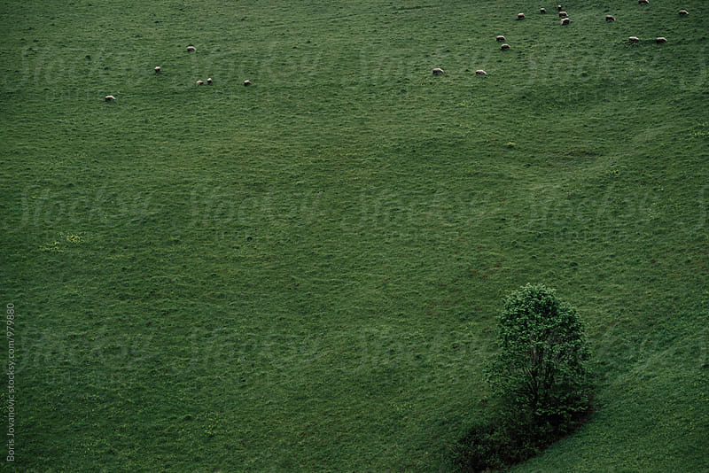 Herd of sheep on the green field by Boris Jovanovic for Stocksy United