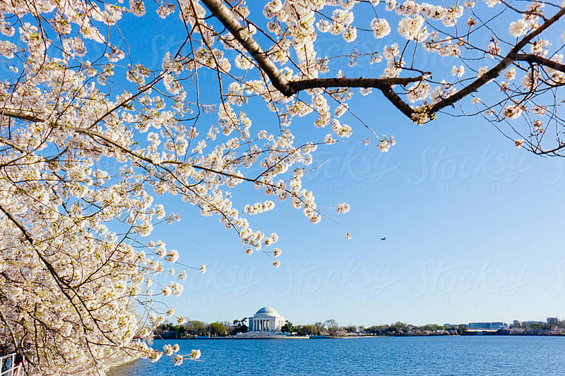 Tidal Basin Framed By Cherry Blossoms by Cameron Whitman for Stocksy United