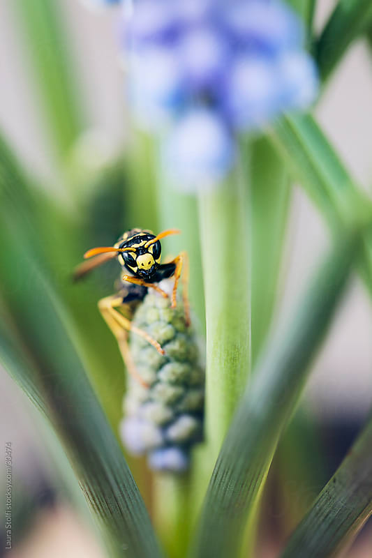 Spring time: Close-up of wasp on Baby's breath (Muscari) bud by Laura Stolfi for Stocksy United