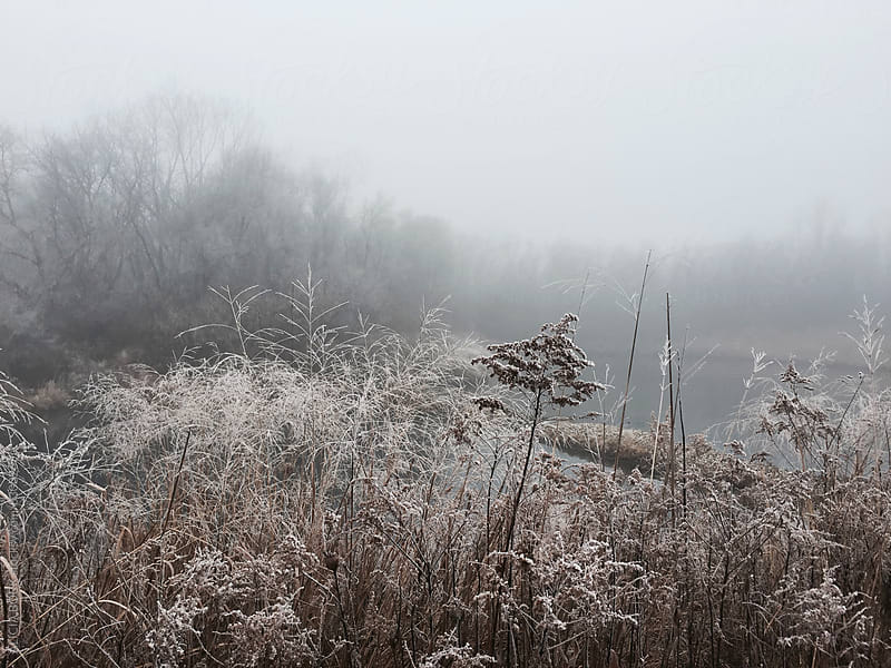 Frost Covered Weeds On A Foggy Winter Day by ALICIA BOCK for Stocksy United