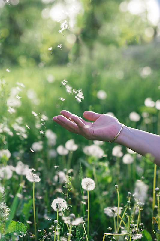 Dandelion seeds floating above hand by Pixel Stories for Stocksy United