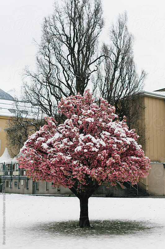Cherry Blossom Tree by Bruce and Rebecca Meissner for Stocksy United