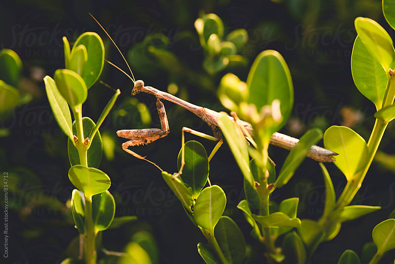 Praying mantis hunting in the sun  by Courtney Rust for Stocksy United