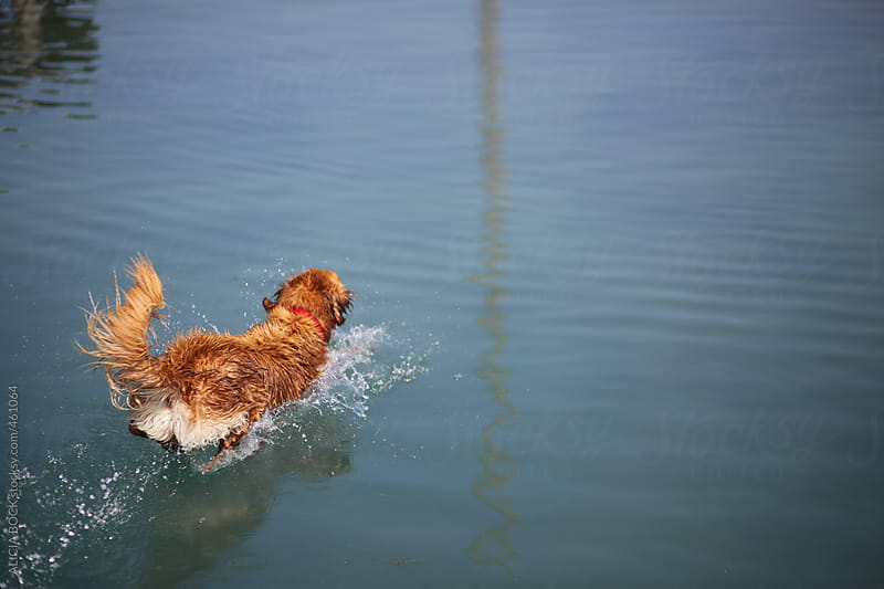 A Golden Retriever Jumping Into A Lake On A Summer Day by ALICIA BOCK for Stocksy United