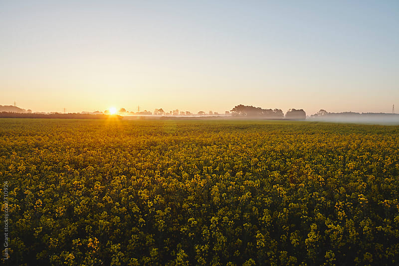 Sunrise over Rapeseed field on a misty morning. Norfolk, UK. by Liam Grant for Stocksy United