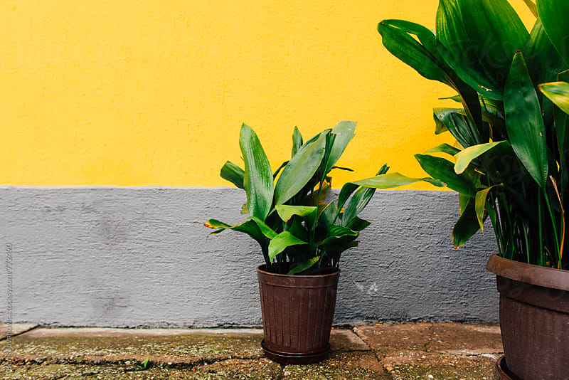 Flower pots against the yellow wall  by Boris Jovanovic for Stocksy United