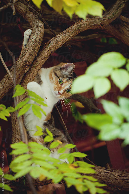 Cat crawling on tree branch and looking down by Laura Stolfi for Stocksy United