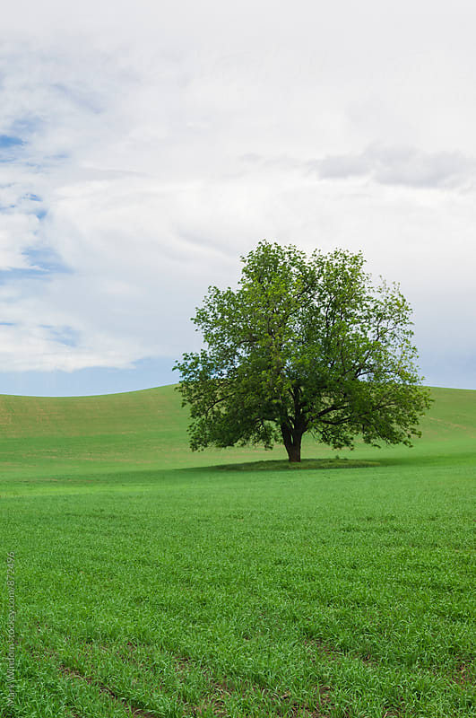 Tree and wheat in Spring by Mark Windom for Stocksy United