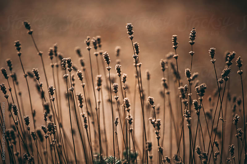 Dried lavender. by BONNINSTUDIO for Stocksy United