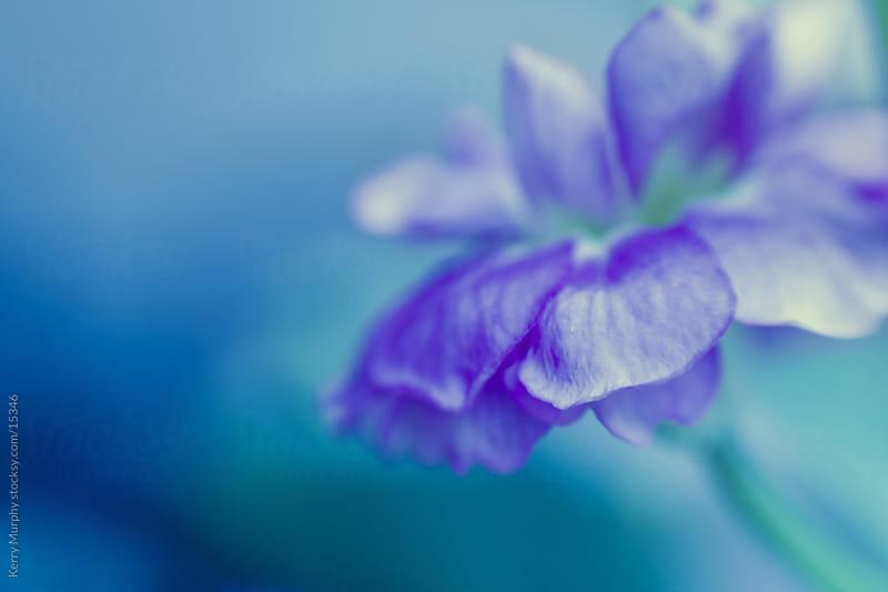 Macro of soft purple flower by Kerry Murphy for Stocksy United
