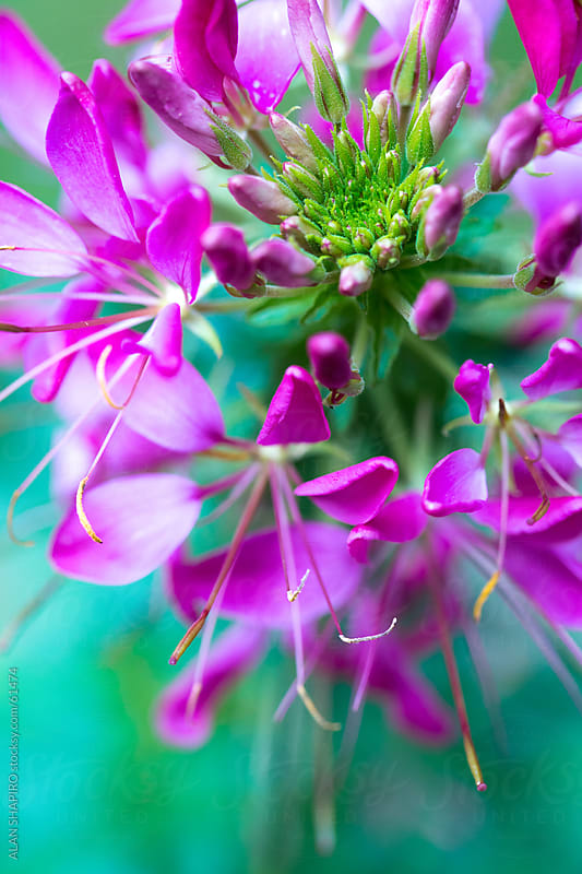 Cleome in bloom by ALAN SHAPIRO for Stocksy United