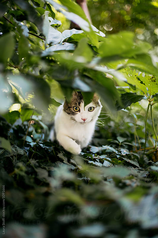 Cat explores garden walking under shrubs by Laura Stolfi for Stocksy United