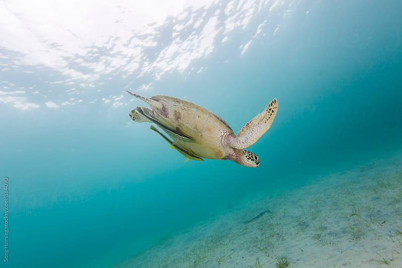 green sea turtle by Song Heming for Stocksy United