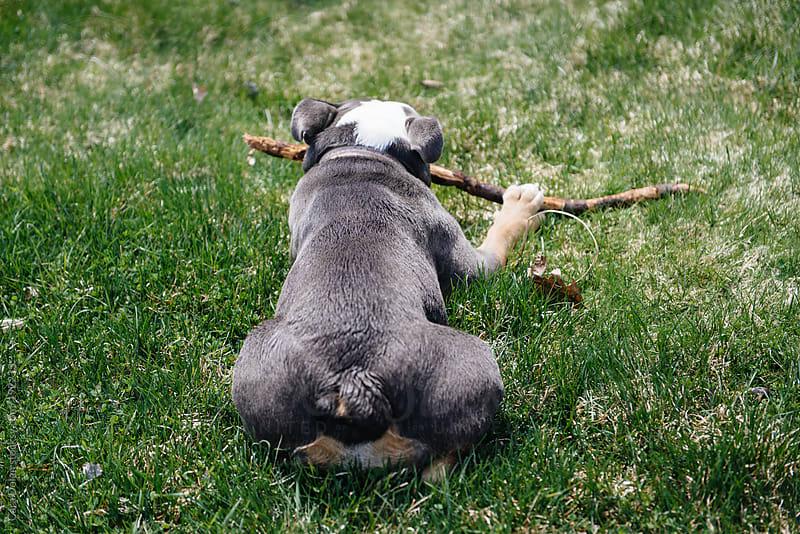 English bulldog chews on a stick in the backyard by Cara Dolan for Stocksy United
